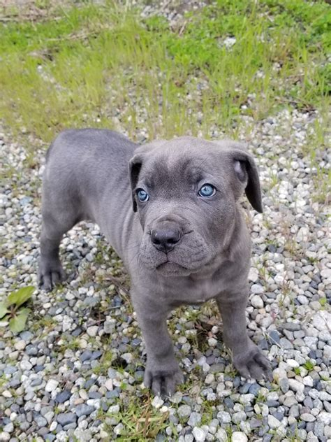 blue corso puppies our blue corso puppy bane steals hearts aww