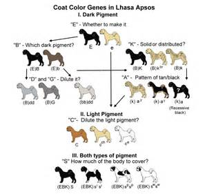 coat color calculator coat color genetics in lhasa apsos