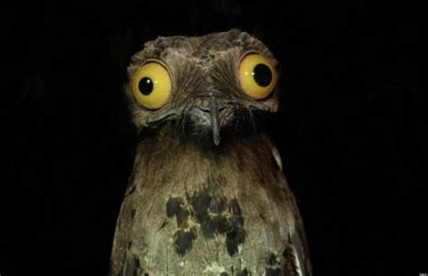 is the potoo the world s funniest looking bird pictures