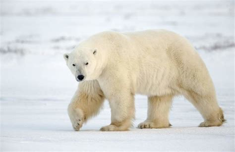libro polar bear polar bear top 22 most powerful bite forces in carnivore land mammals our planet
