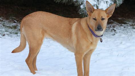 chinook puppies chinook facts pictures puppies temperament breeders price animals adda
