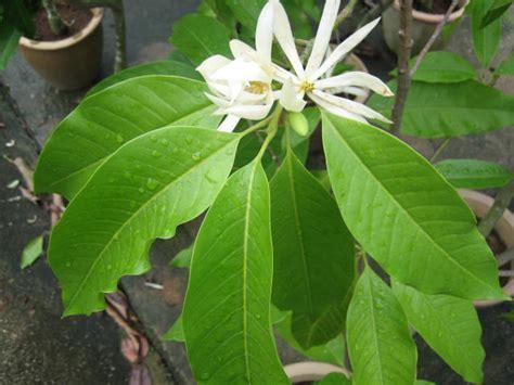 Promo Sensatia Botanicals Eucalyptus Leaf Essential 10ml michelia alba leaf essential nezza naturals