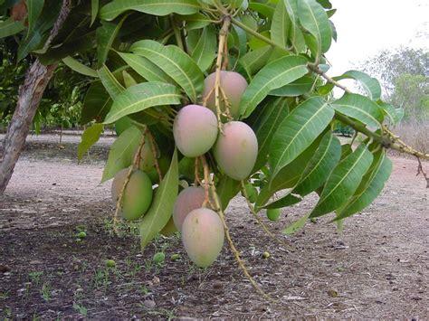 mango tree with fruits virgo leena mango tree