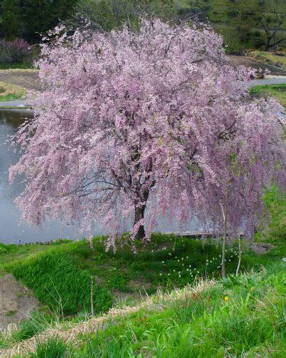 flowering cherry pink snow showers prunus x pisnshzam 25 30 pink flowers in
