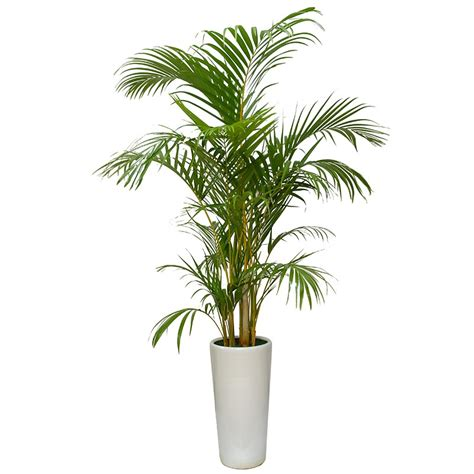 areca palm areca palm tree