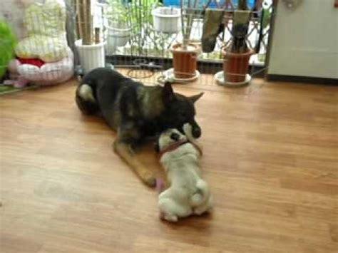 pug vs german shepherd german shepherd vs pug