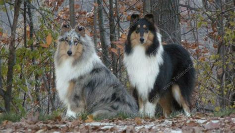blue merle collie puppies for sale 1000 images about dogs on shepherd collie and shetland sheepdog