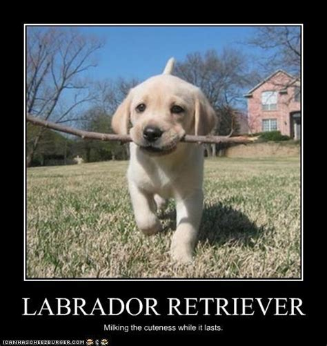 Labrador Meme - labrador retriever dream dog for my birthday or