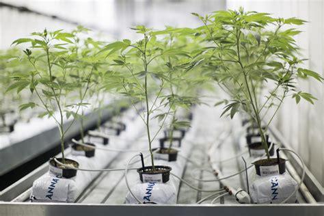 guide  hydroponics marijuana growing learn growing