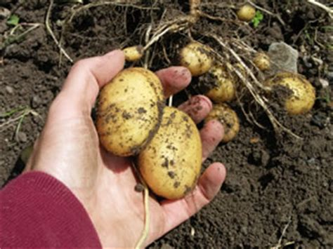 wann sind kartoffeln gar kartoffeln ernten kartoffelernte wann sind sie reif