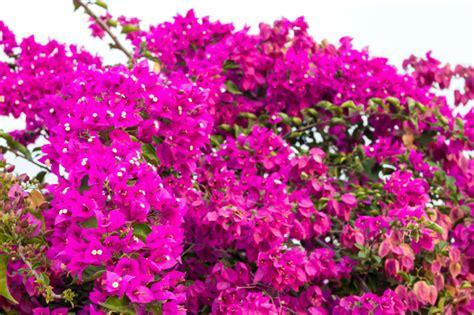 piante da giardino con fiori viola pianta ricante fiori viola terminali antivento per