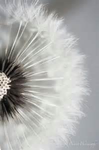 dandelion color dandelion color of cotton