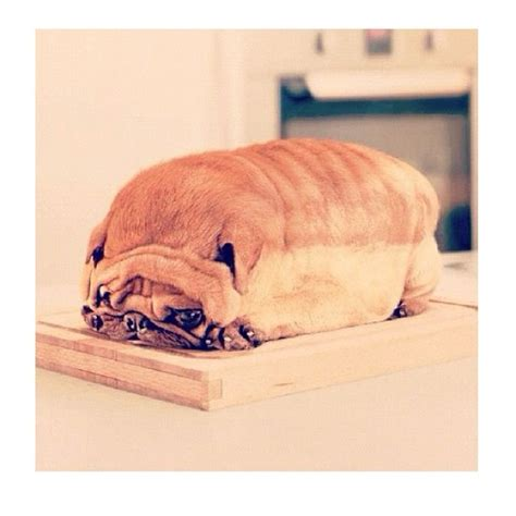pug bread loaf that looks like pug that looks like a loaf of bread breeds picture pug bread loaf that looks like pug that looks like a loaf of bread breeds picture