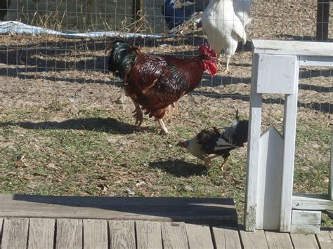 Backyard Chickens Ordering A Guide To Understanding The Chicken Pecking Order