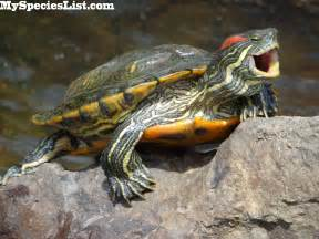 1000 images about res on pinterest turtle facts a