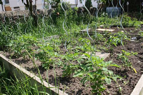 backyard tomatoes garden tomato ideas native home garden design