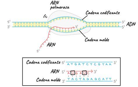 cadena molde de adn transcripcion transcripci 243 n de adn biolog 237 a