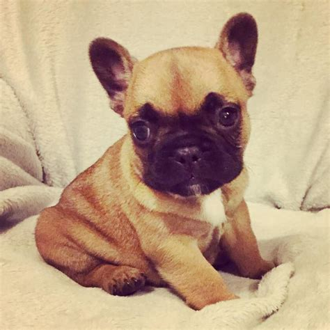 french bulldog for sale uk 2 pedigree french bulldogs for sale billericay essex
