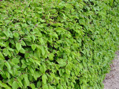 wann schneidet koniferen buchenhecke schneiden pflanzen tips co buchenhecke