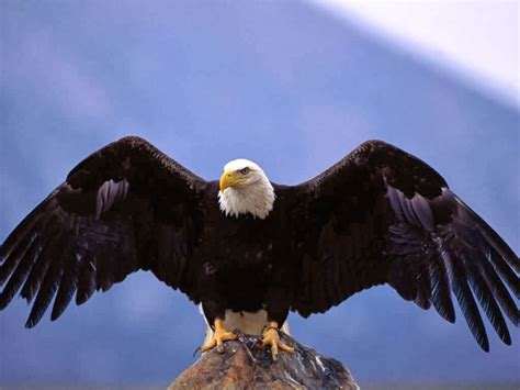 rules of the jungle types of eagles