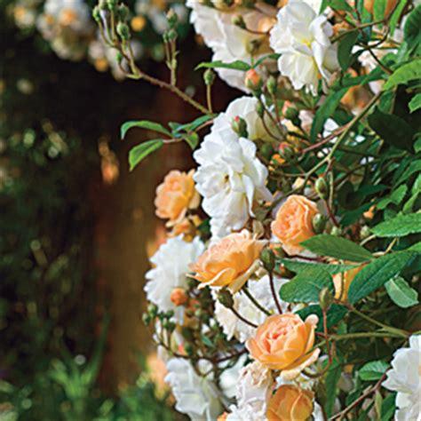 imagenes de rosas trepadoras recubre muros y cercas con rosales
