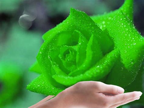 flower wallpaper green rose flowers for flower lovers green rose flower