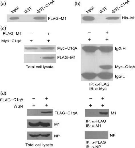 m protein influenza influenza virus matrix protein m1 interacts with c1qa a