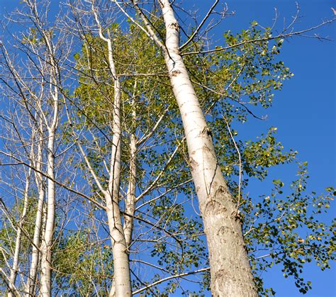 what does tree with poplar trees a one time lowden farmhand makes some
