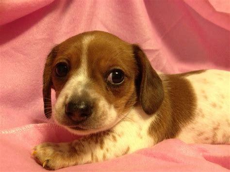 piebald dachshund puppies piebald dachshund puppy wiener dogs