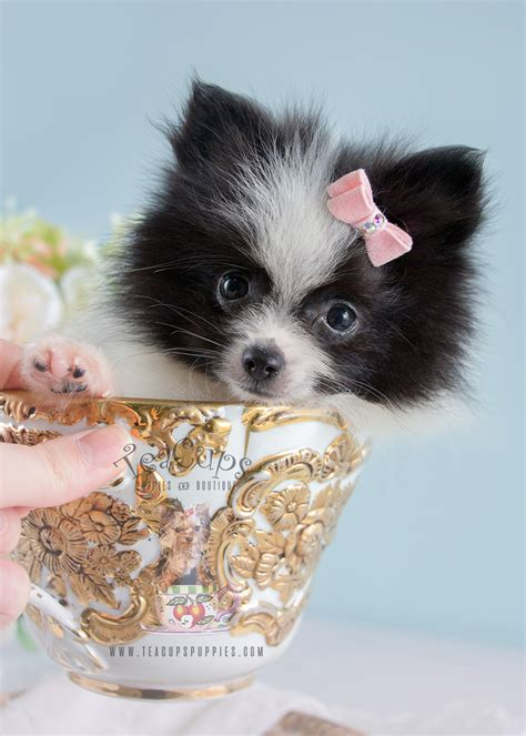 puppy finder florida find pomeranian dogs puppies for sale adoption pets world