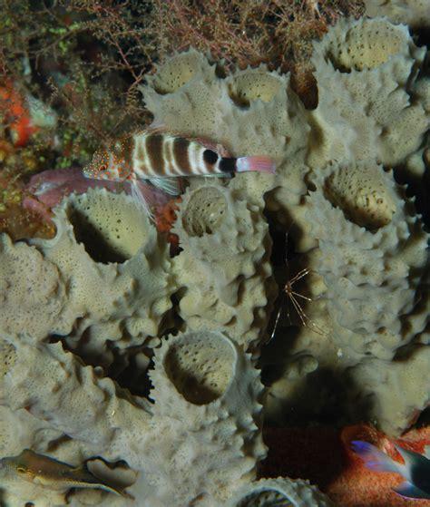 Branching Vase Sponge by Sponges Of Flower Garden Banks National Marine Sanctuary