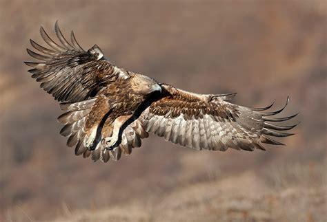 imagenes de jordan volando aguila real volando im 225 genes y fotos