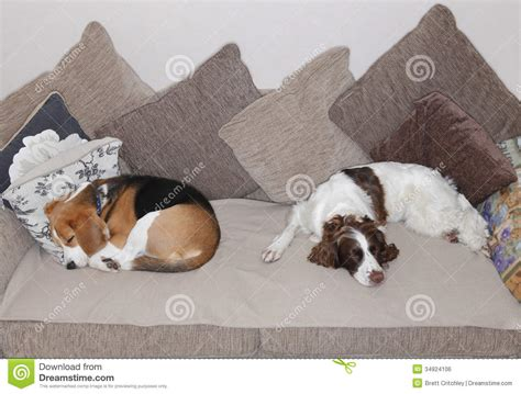 dog sleeping on couch sleeping dogs stock photo image of cushions dogs