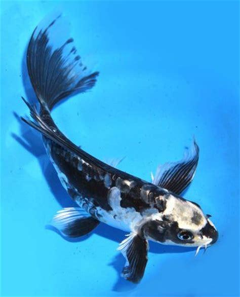 Live Koi Pond Fish Large 6 7 Quot Black Kikokuryu Butterfly Blue And Black Koi