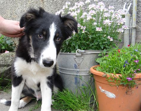 border collie puppies colorado border collie puppies dunkeld perthshire pets4homes