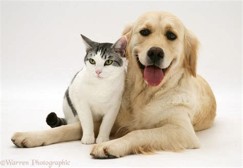 golden retriever cat pets cat and smiley golden retriever photo wp17887