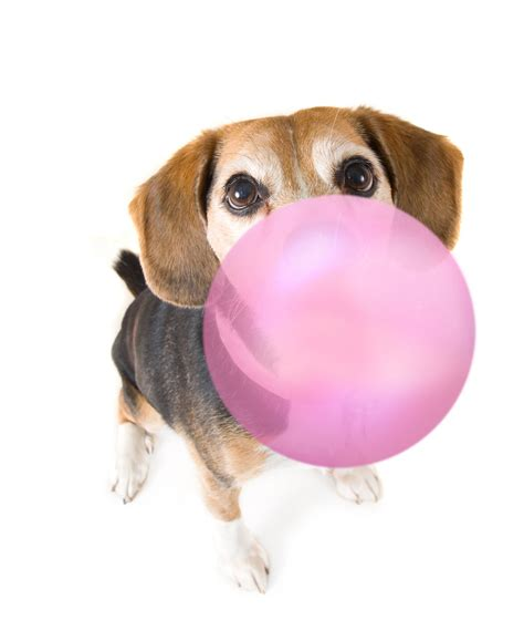 is gum bad for dogs my swallowed gum should i be worried simply for dogs
