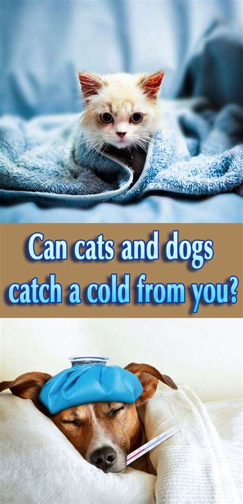 can dogs catch a cold can your pet catch your cold corner