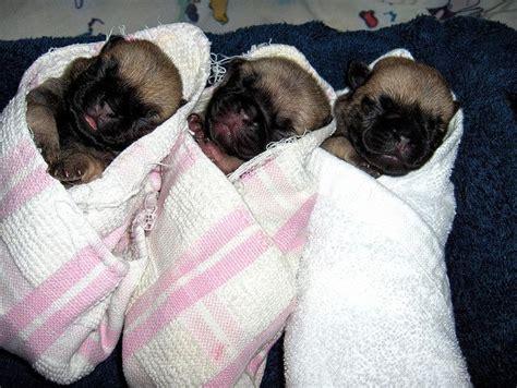 pug puppies newborn newborn pug puppies