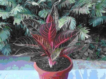 jual beli tanaman hias indoor aglaonema pride red