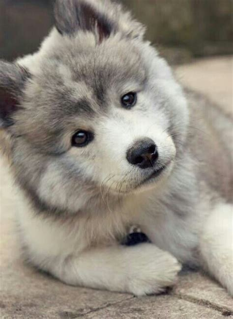 alaskan pomeranian mix gray pomsky price 1 500 to 5 000 pomsky grey and puppys