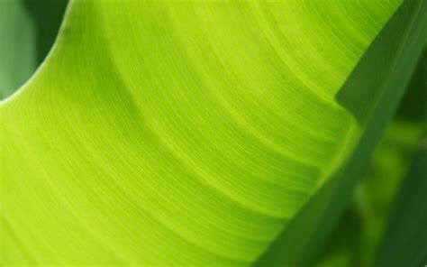 bananas leaf wallpaper banana leaf images hd desktop wallpapers 4k hd