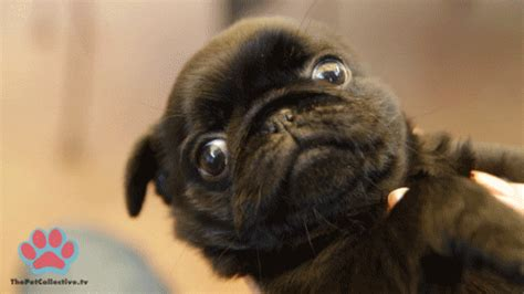 pugs seizures epilepsy warning pug pugs buzzfeed all the pugs give me pugs showmethesneer