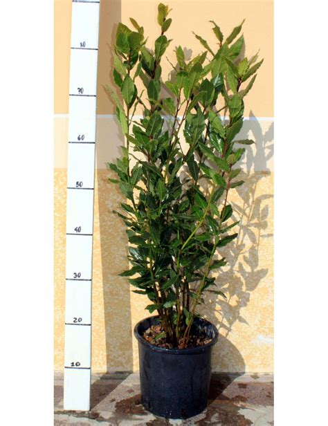 pianta di alloro in vaso alloro laurus nobilis vendita piante vaso 18 cm