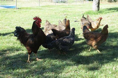 avoiding avian flu in backyard poultry flocks farm