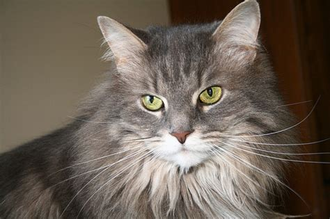 how to a coon how to tell if your maine coon is a mix mainecoon org