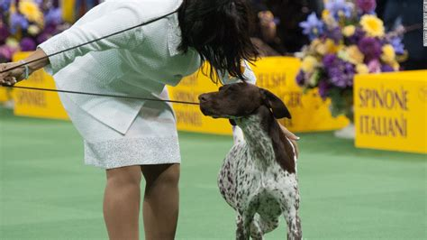 westminster show on tv westminster show california journey wins top prize cnn