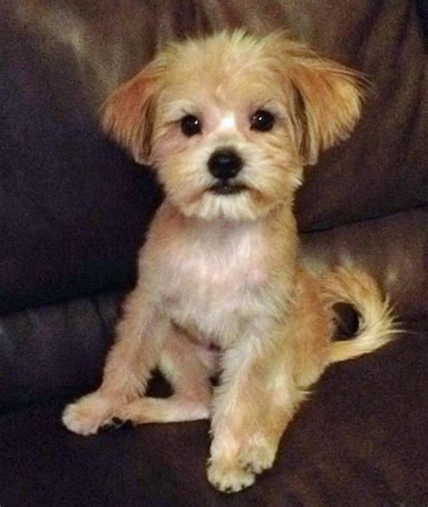 mixed with yorkie 1000 images about mixed breed babies on