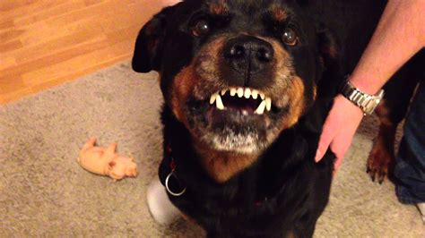 rottweiler attack in india angry rottweiler 2 funnydog tv