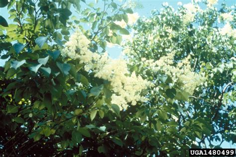 lilac tree information japanese tree lilac information bing images